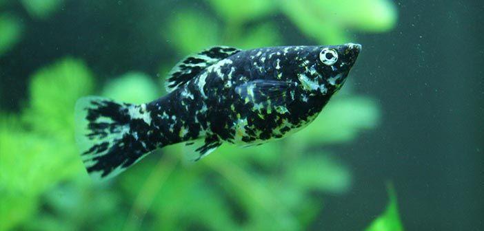 Como diferenciar mollys machos y hembras
