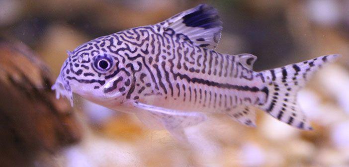 Cuales son los peces imprescindibles en un acuario
