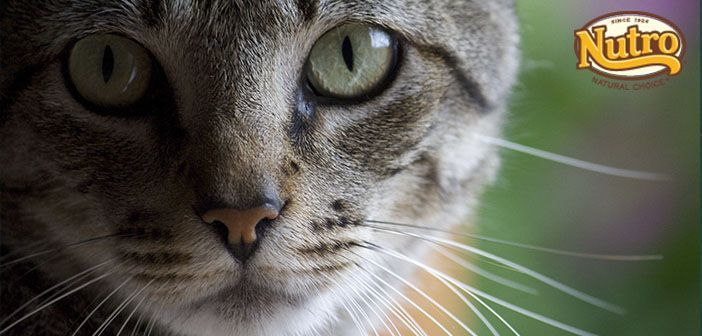 Nutro gato para mejorar la digestion de tu gato