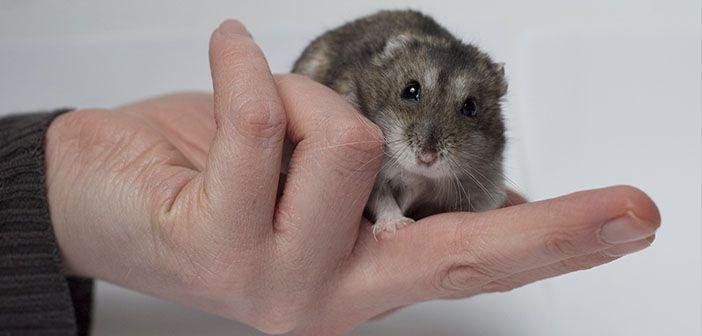beneficios-de-tener-un-hamster-como-mascota