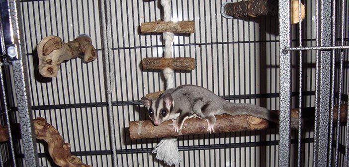 Cómo-debe-ser-la-jaula-o-instalación-de-un-petauro