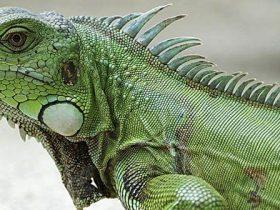Consejos-básicos-para-tener-una-iguana-verde