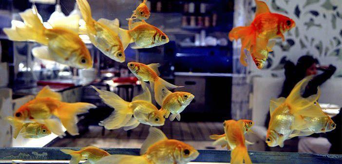 Los-problemas-de-la-super-poblacion-en-el-acuario