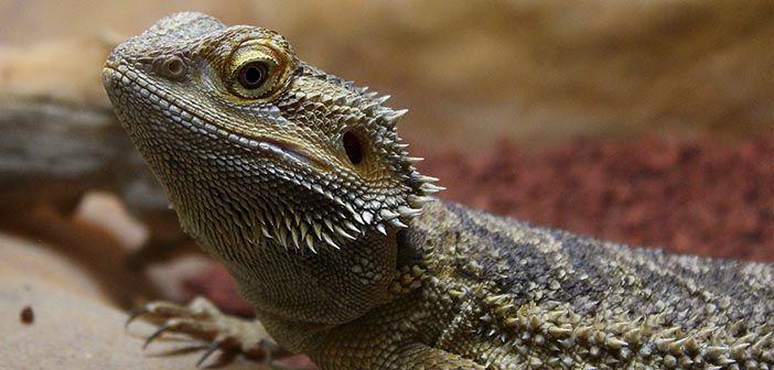 Todo-lo-que-necesitas-saber-sobre-el-dragón-barbudo