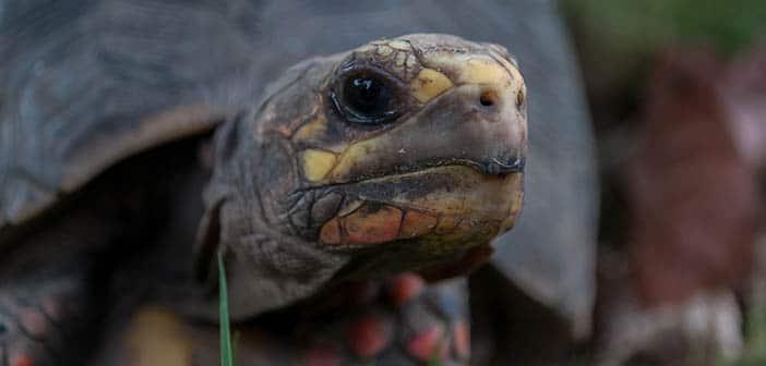 Cómo-puedo-saber-la-edad-de-mi-tortuga
