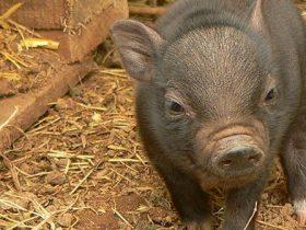 La-alimentación-del-cerdo-vietnamita