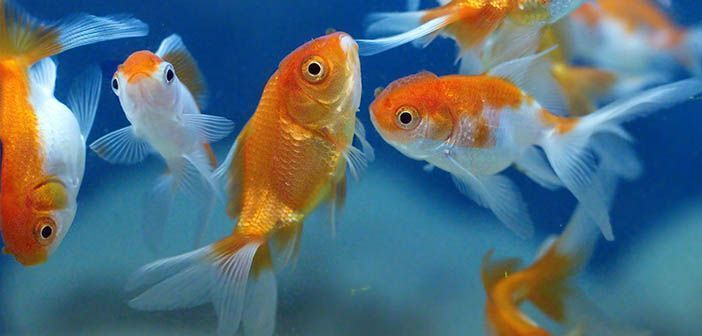 Peces de agua fr a o de agua caliente hobby mascotas for Enfermedades de peces de agua fria