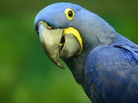 5-curiosidades-sobre-los-guacamayos-hobby-mascotas