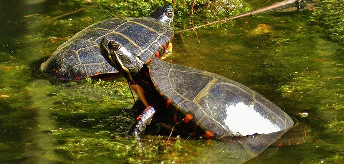 cómo-cuidar-una-tortuga-pintada-hobby-mascotas