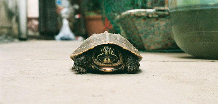 qué-debo-tener-en-cuenta-para-tener-una-tortuga-en-casa-hobby-macotas