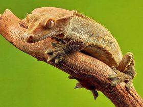 Qué-debo-saber-sobre-el-gecko-crestado-hobby-mascotas