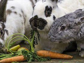 por-que-mi-conejo-no-come-hobby-mascotas