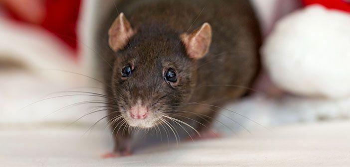 las-ratas-son-inteligentes-hobby-mascotas