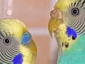 Cómo saber el sexo de un periquito