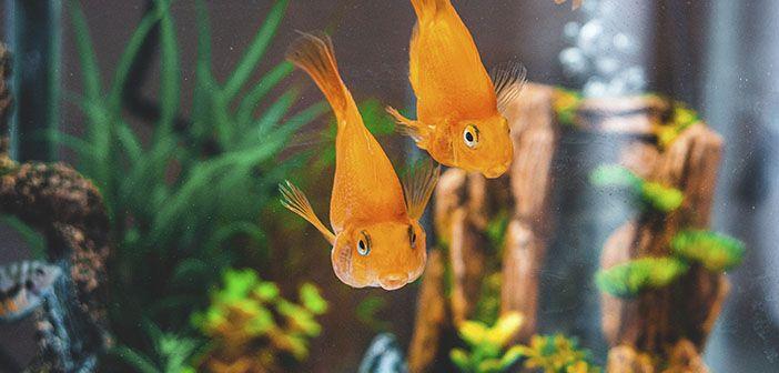 Cómo alimentar a un pez dorado