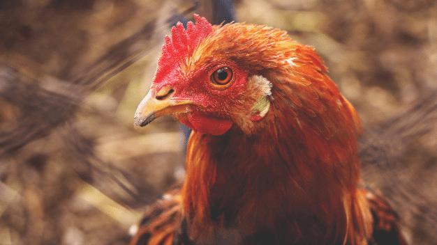 se-pueden-tener-gallinas-para-el-autoconsumo-hobby-mascotas